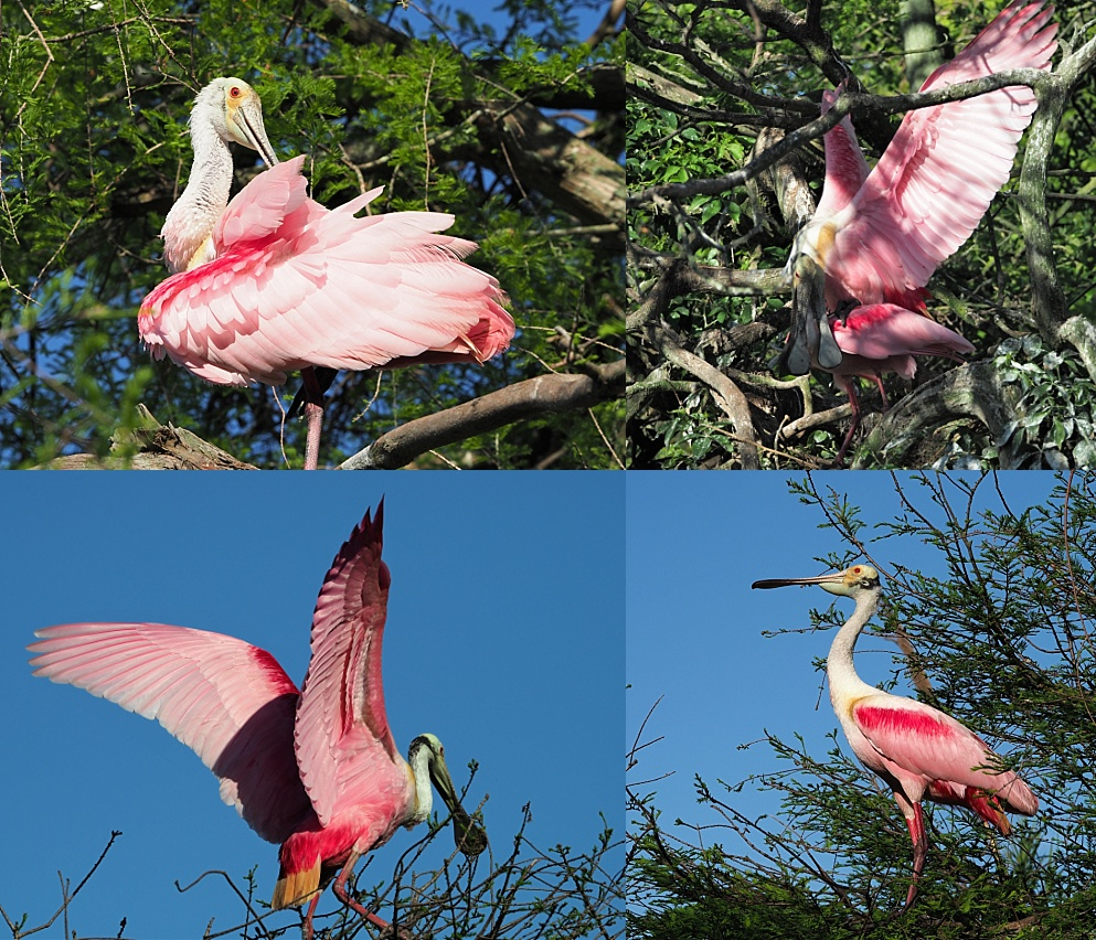 4-photo collage of roseate spoonbills