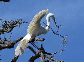 Great egret alighting in tree-top with nesting material