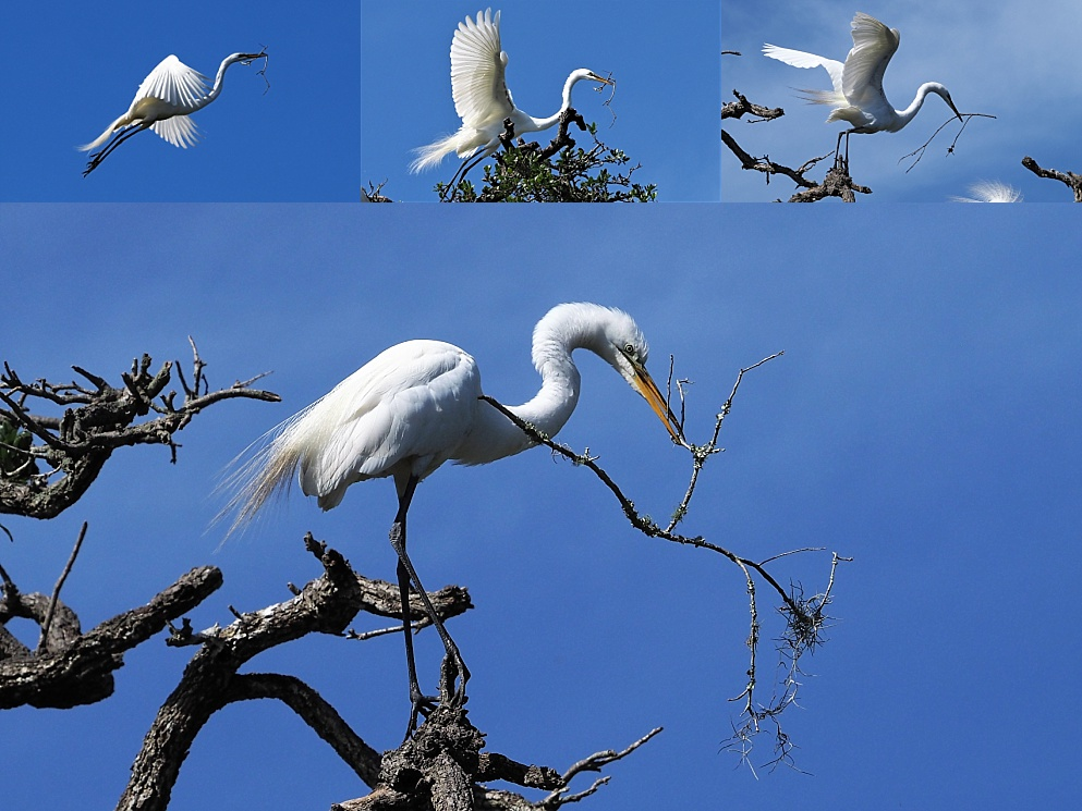 4-photo collage of great egrets returning to the nest