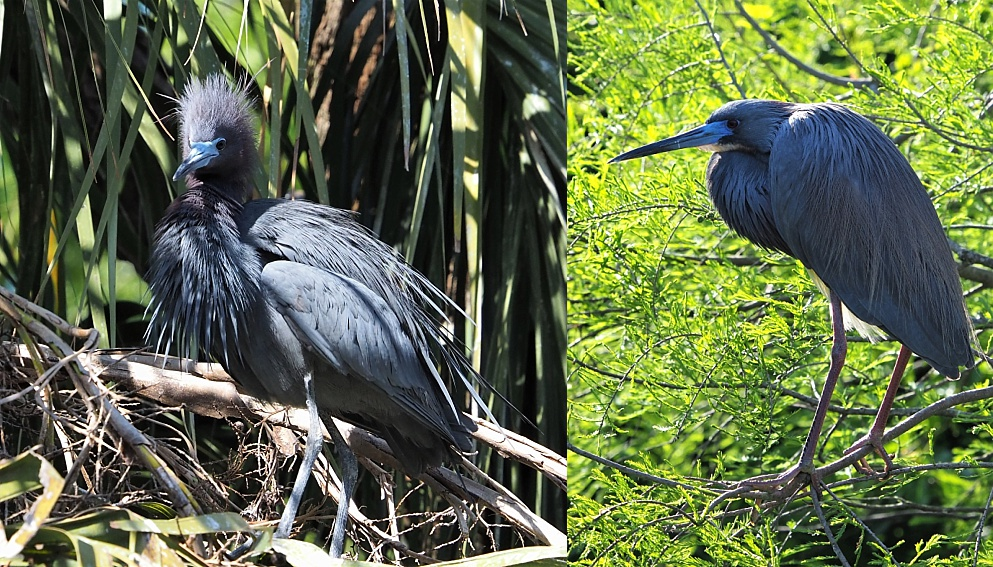 2-photo collage of little blue herons