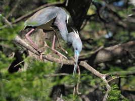 Little blue heron with nesting material