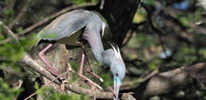 Blue Birds, Florida