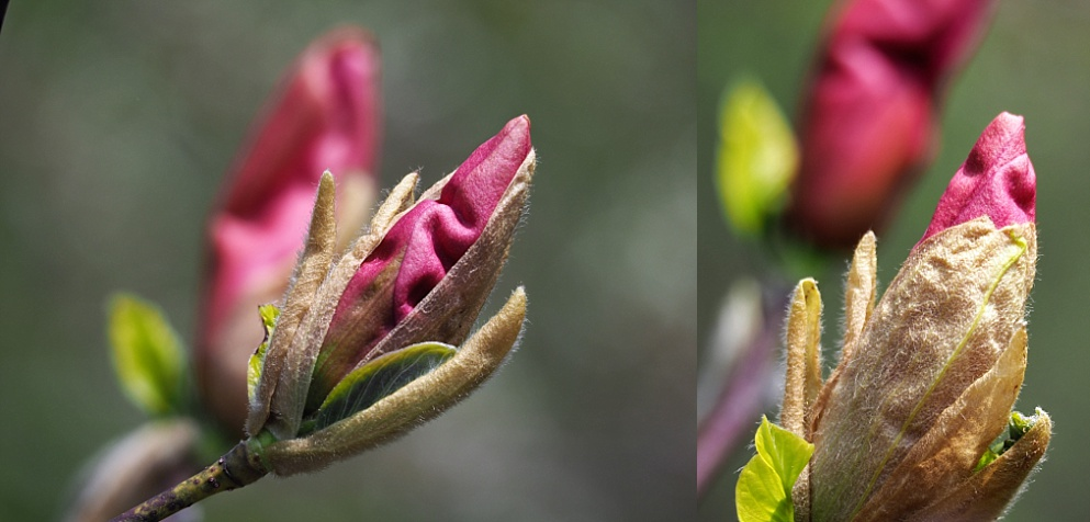 2-photo collage of magnolia buds