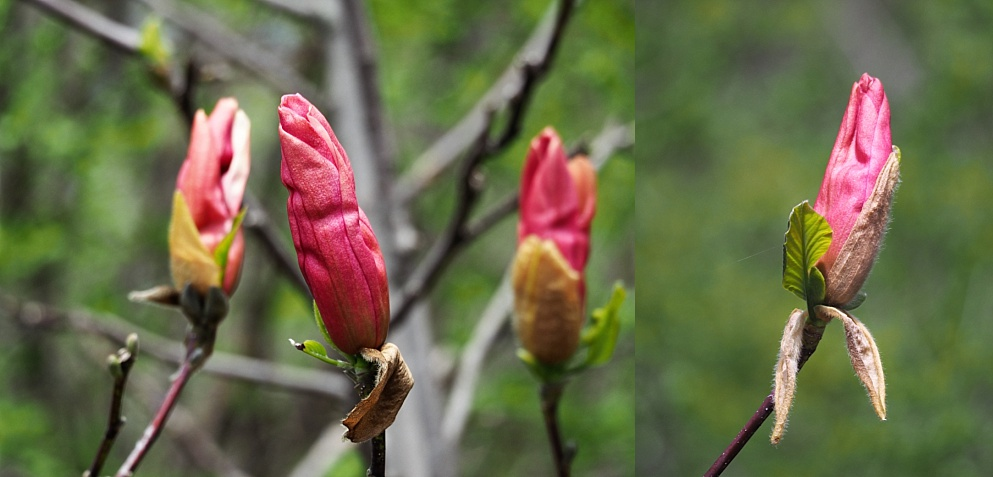 Close-up of magnolia buds surviving squirrel depredations