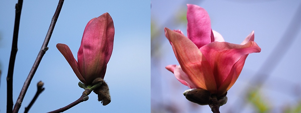 2-photo collageof magnolia blossoms that survived the squirrels