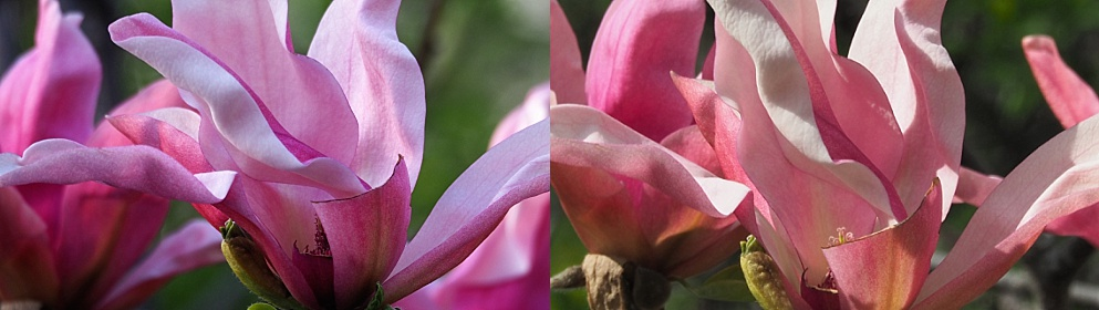 2-photo collage of full magnolia blooms