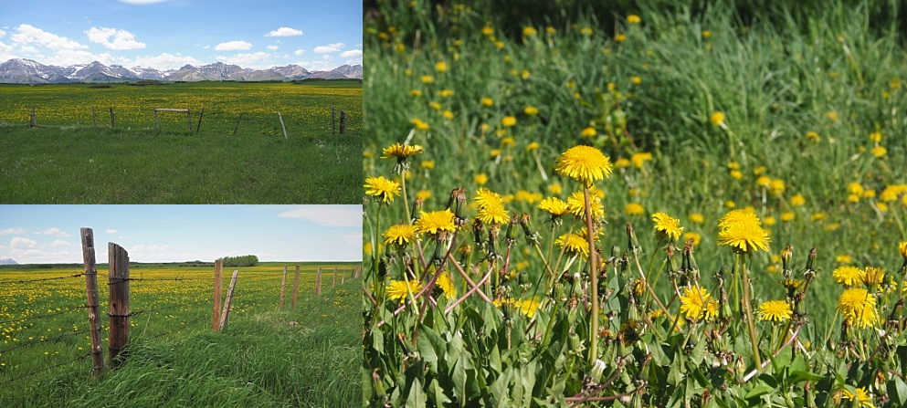 Dandelions growing in all parts of country