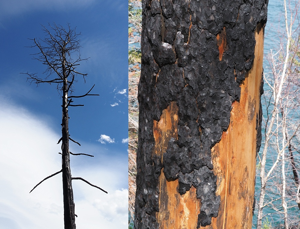 Fire damage to tree from Kenow Wildfire