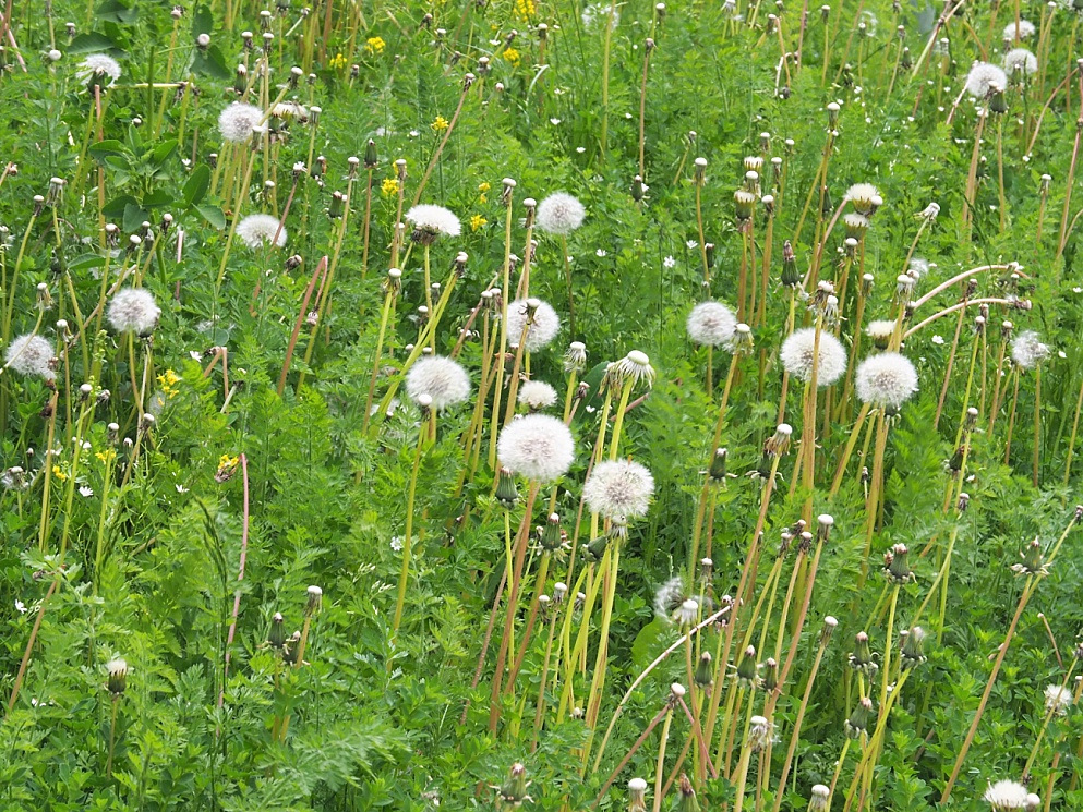 Dandelions in seed in early June
