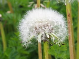 Dandelion head in seed
