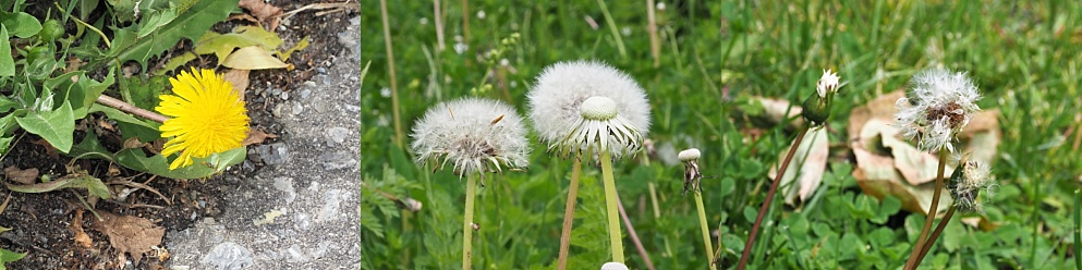 Forms of dandelions