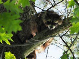 Raccoon sleeping in a tree