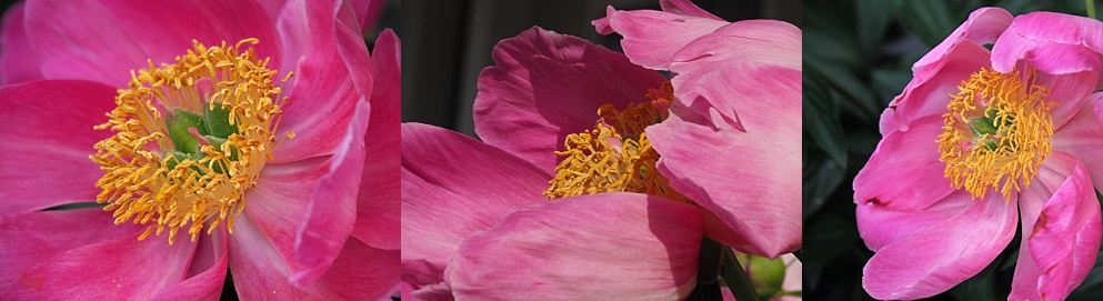 3-photo collage of peonies