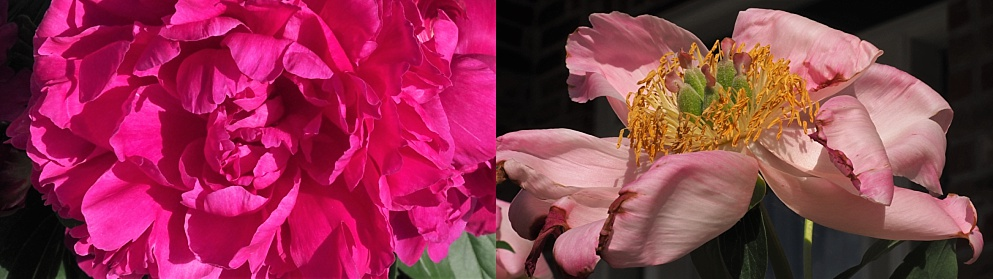 2-photo collage of peonies in full bloom
