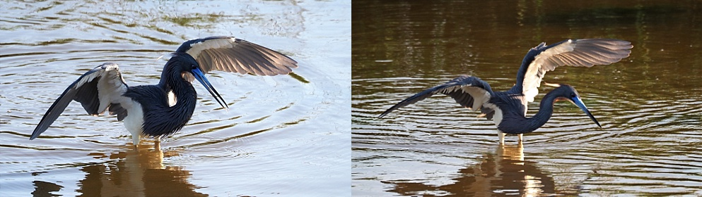 2-photo collage of tricolor heron