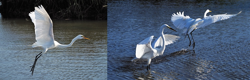 2-photo collage of great egrets