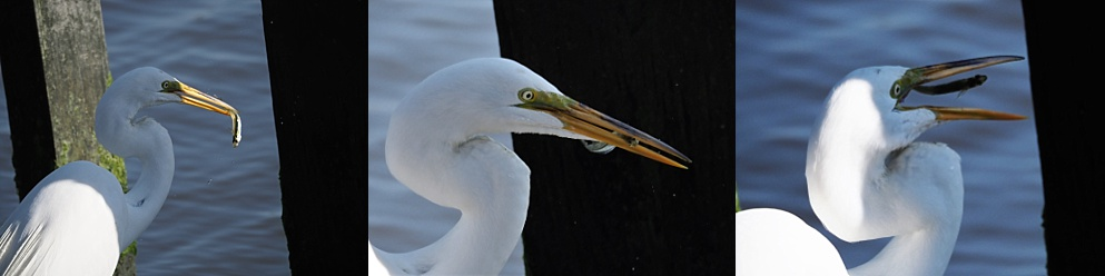 3-photo collage of great egret manuevering a fish into position for swallowing