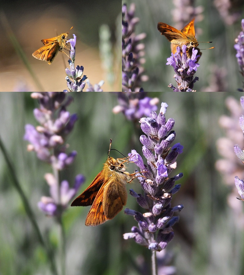 3-photo collage of orange moths on purple lupins