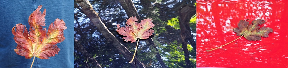 3-photo collage of maple leaf on various backgrounds