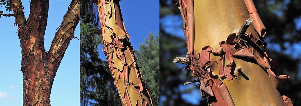 3-photo collage of arbutus trees