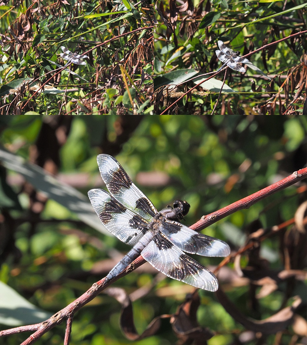 3-photo dragonfly collage illustrating zoom and composition