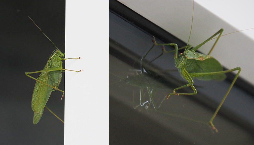 2-photo collage of grasshopper on window