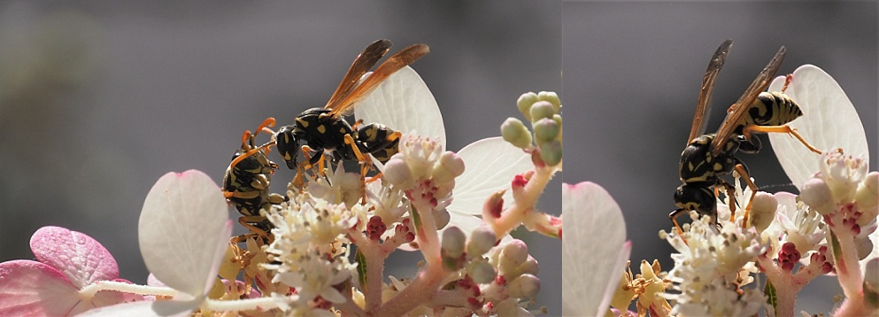 Wasps on pinky-winky hydrangea