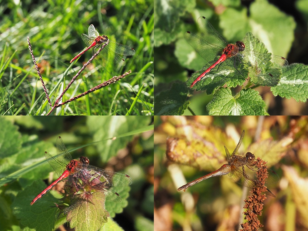Collage of late-season dragonflies
