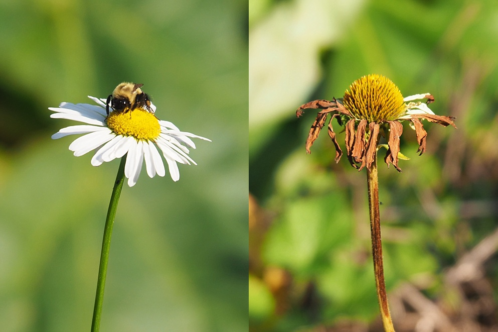 2-photo collage of daisies