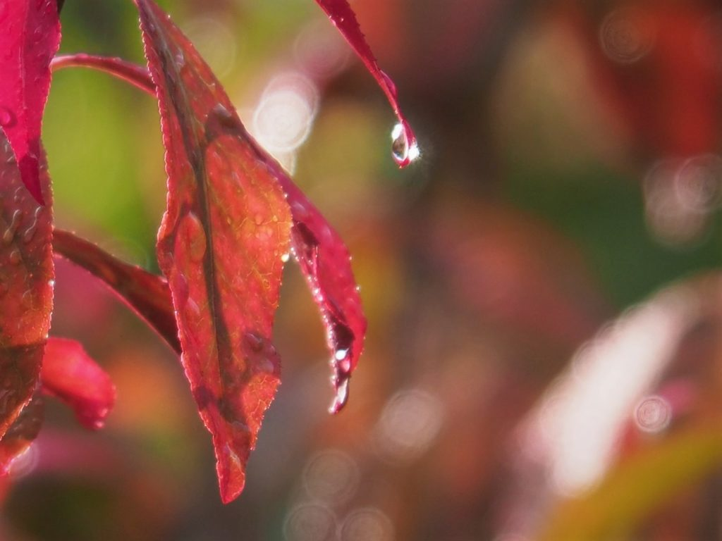 Sun shining through raindrops on flame bush