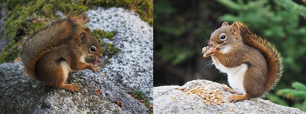 2-photo collag eof red squirrels in Cape Breton