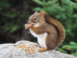 Red squirrel eating tree bud