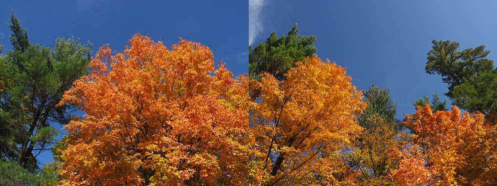 2-photo collage of fall leaves with spruce-tree framing