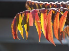 Sumac branch in autumn colours