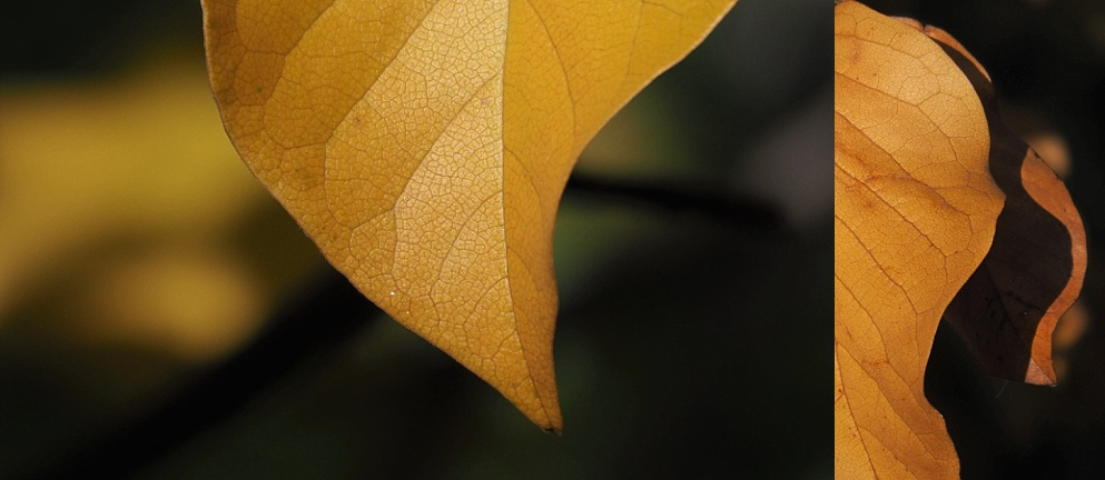 2-photo collage of magnolia leaves in close-up