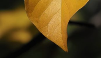 Magnolia leaf close-up