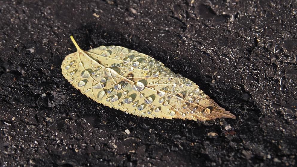 Elm leaf with raindrops on asphalt