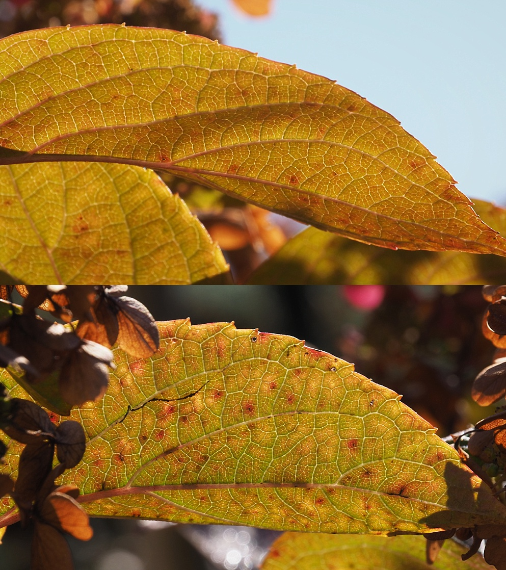 2-photo collage of hydrangea leaves