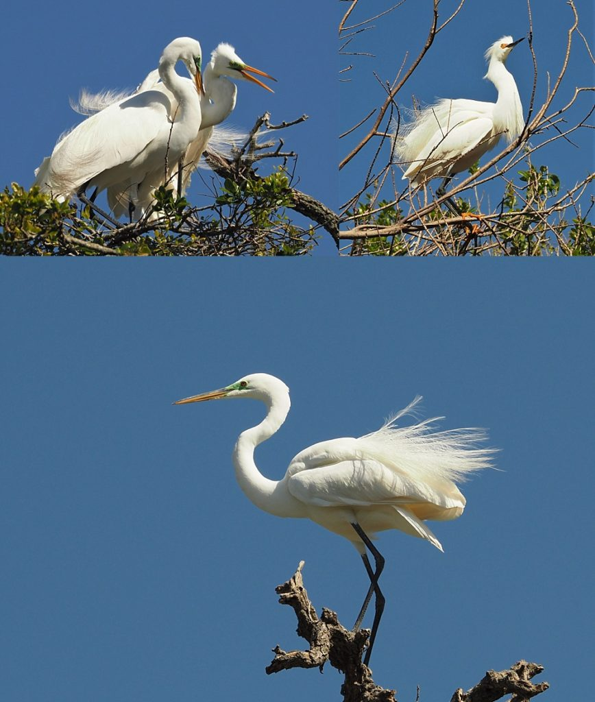 3-photo collage of great egret composition