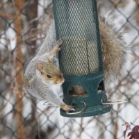 Squirrel on squirrel-proof feeder