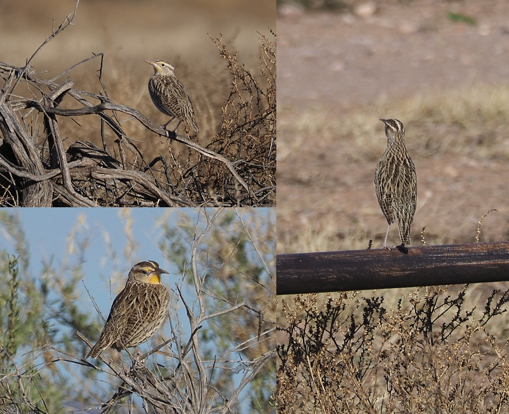 3-photo collage of meadowlarks