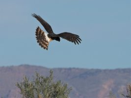 Northern harrier, hunting