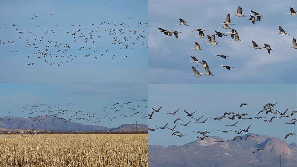 4-phot collage of flocks of sandhill cranes in the air