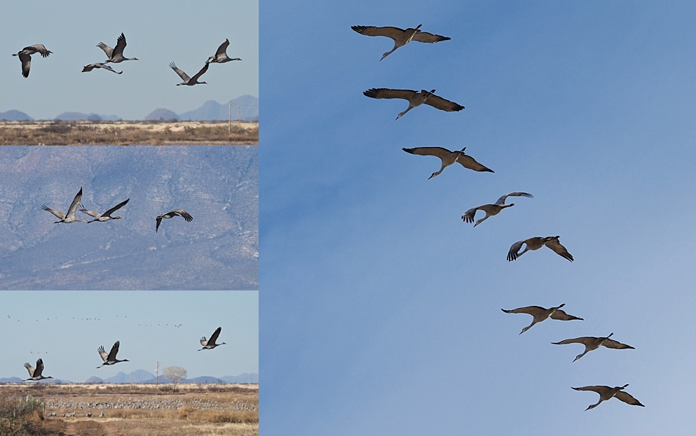 4-photo collage of sandhill cranes in the air