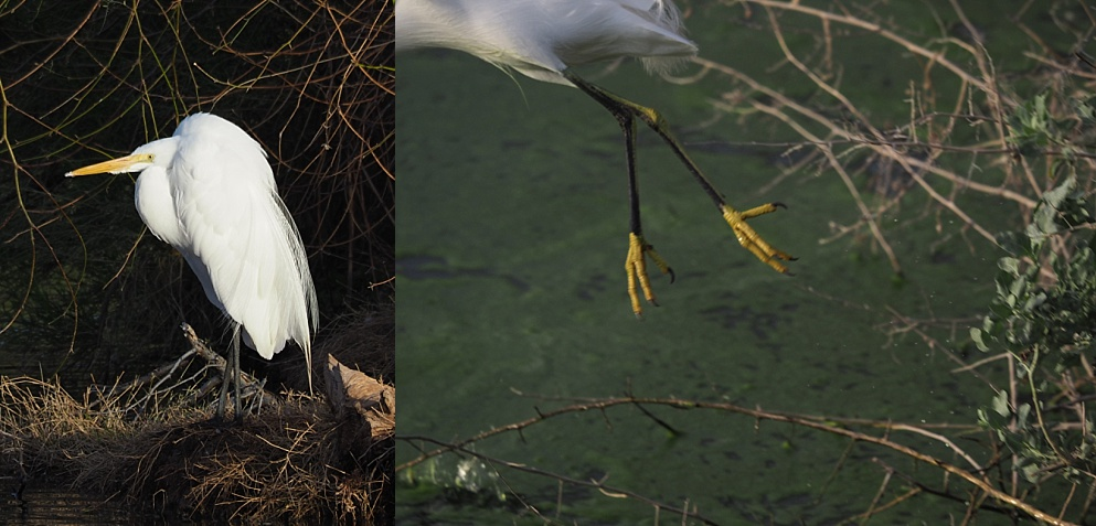 2-photo collage of great egret standing stockstill and a fleeting glimpse of a snowy egret's feet as it exits the frame