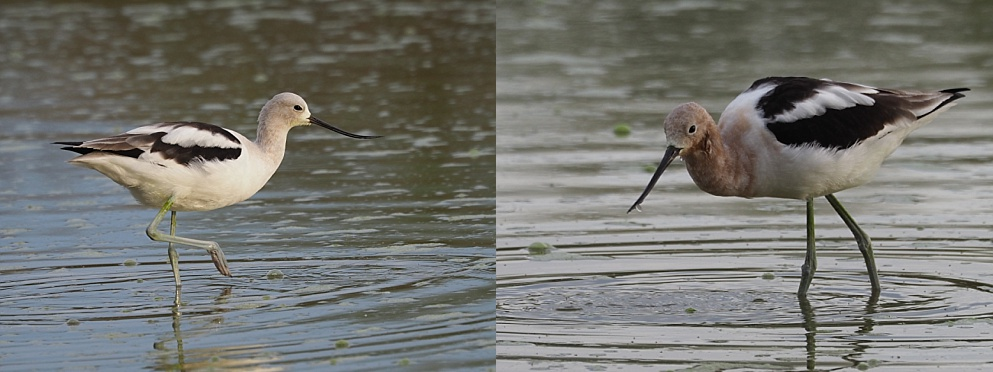 Female and male avocet, wading and feeding