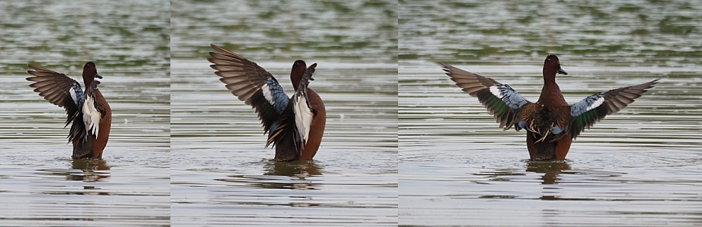 3-photo collage of duck flaring its wings