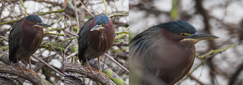 Green heron out in the open
