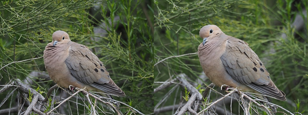 2-photo collage of mourning dove, looking cute