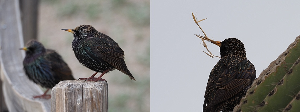 2-photo collage of juvenile starlings and nesting starling